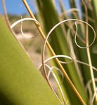 Title: Guadalupe Agave
