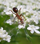 Title: Ant Gathering Pollen