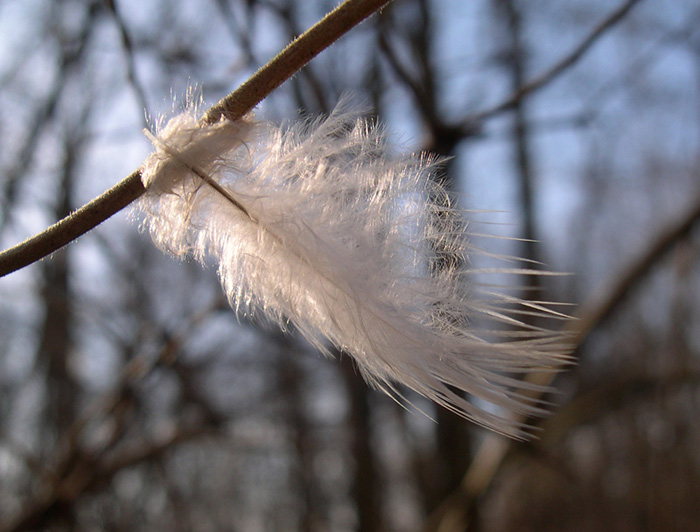 The Feather Leaf