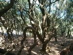 Title: Forest in Ikaria island