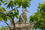 Title: Grey Heron Chicks