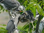 Title: Heron Chicks Close Up