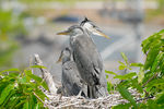 Title: 3 Heron Chicks