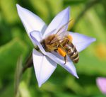Title: honey bee with pollen sac