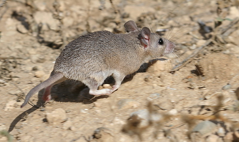Cyprus Spiny mouse