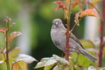 Title: House sparrow for raptorman