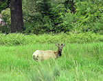 Title: Young Elk