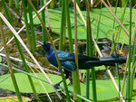 Title: Boat-tailed Grackle - Quiscalus major