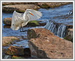 Title: Great Egret landing