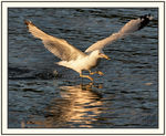 Title: Seagull take-off