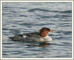 Title: Common Merganser Female
