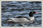 Title: Common Merganser Male