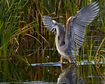 Title: Great heron