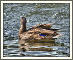 Title: Duck in the bay