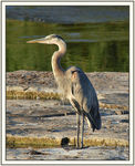 Title: Blue Heron ** Tech infos in note **