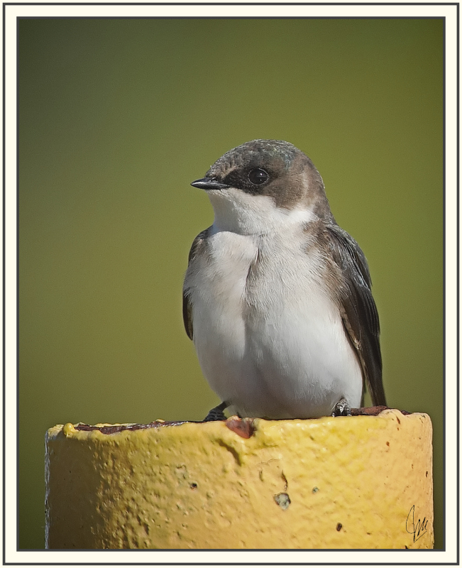 Young Tree Swallow II