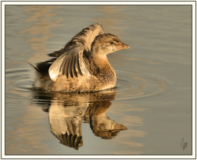 Pied-billed Grebe - Juvenile