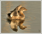 Title: Pied-billed Grebe - Juvenile