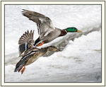 Title: Ducks flying in tandem