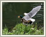 Title: Seagull landing on duck