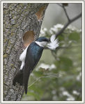 Title: Tree swallow II