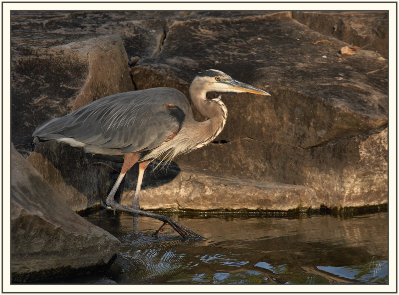 Heron in the last rays of sun