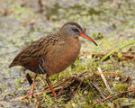 Title: Virginia Rail