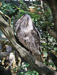 Title: Frogmouth