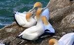 Title: Gannets