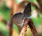 Title: The Common Cerulean butterflies!Nikon D40 X