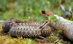 Title: Common adder -Vipera berus-