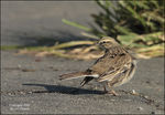 Title: new zealand pipit
