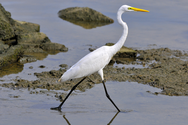 Walking Egret