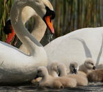 Title: The swan family