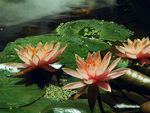 Title: Water lily pond