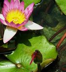 Title: dragonfly & water lily
