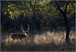 Title: Lonely Stag