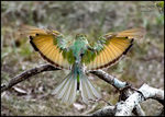 Title: Green Bee eater