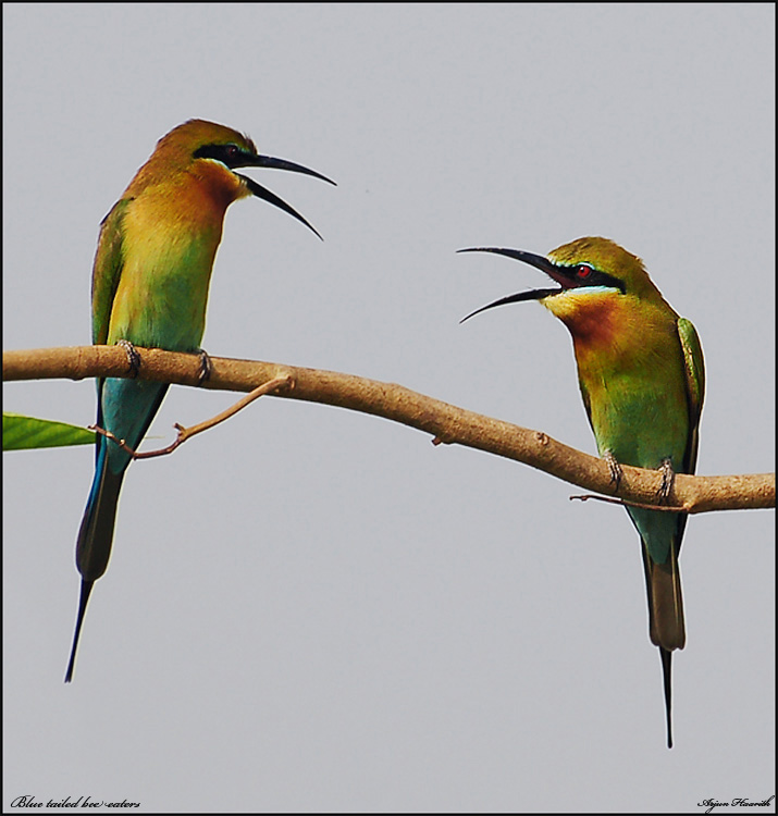 Bee eaters conversation