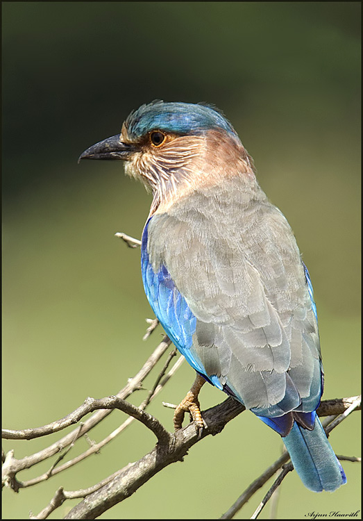 Indian Roller again !!!