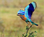 Title: Indian Roller take off..