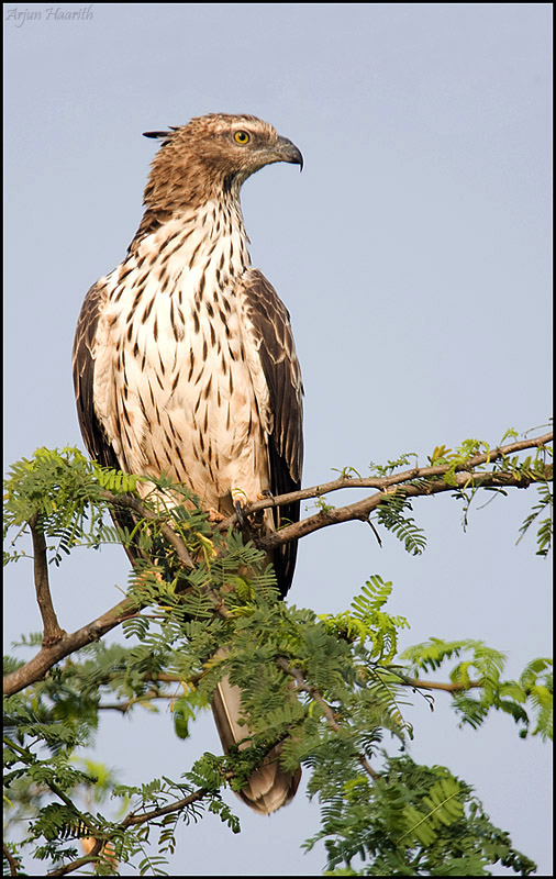 Oriental Honey Buzzard - female