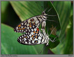 Title: Lime butterfly mating