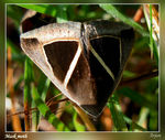 Title: Mask moth.. Camera: Nikon Coolpix L5