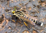 Title: Robberfly