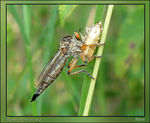 Title: Robberfly - Asilidae