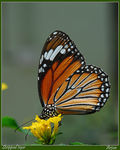 Title: stripped tiger butterfly