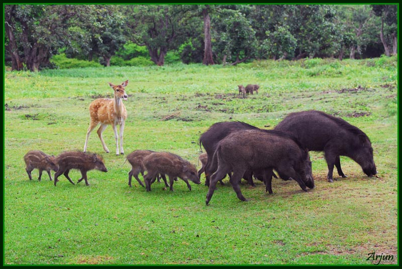 wild boars with deer
