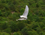 Title: Little egret flying
