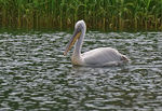 Title: Dalmatian pelican in Great Prespa lake